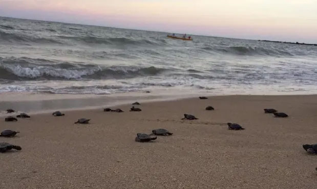 Hawksbill turtles lay their eggs in the sands along Brazil's north-east coast.