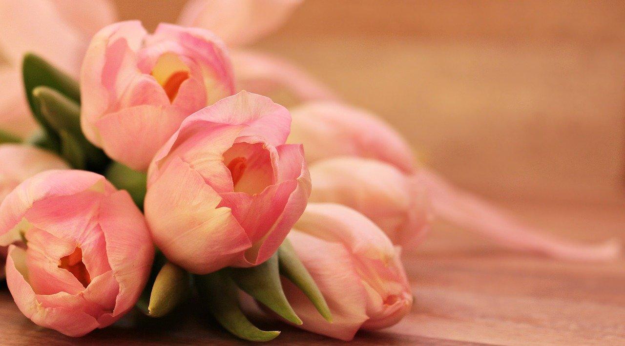 rosafarbene Tulpen, liegend