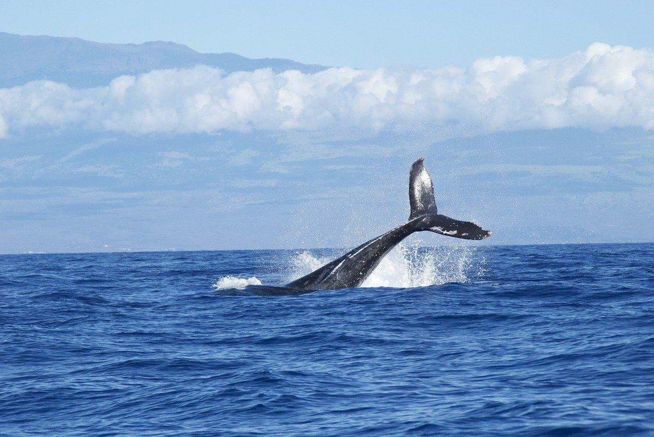 Walflosse über dem Meeresspiegel