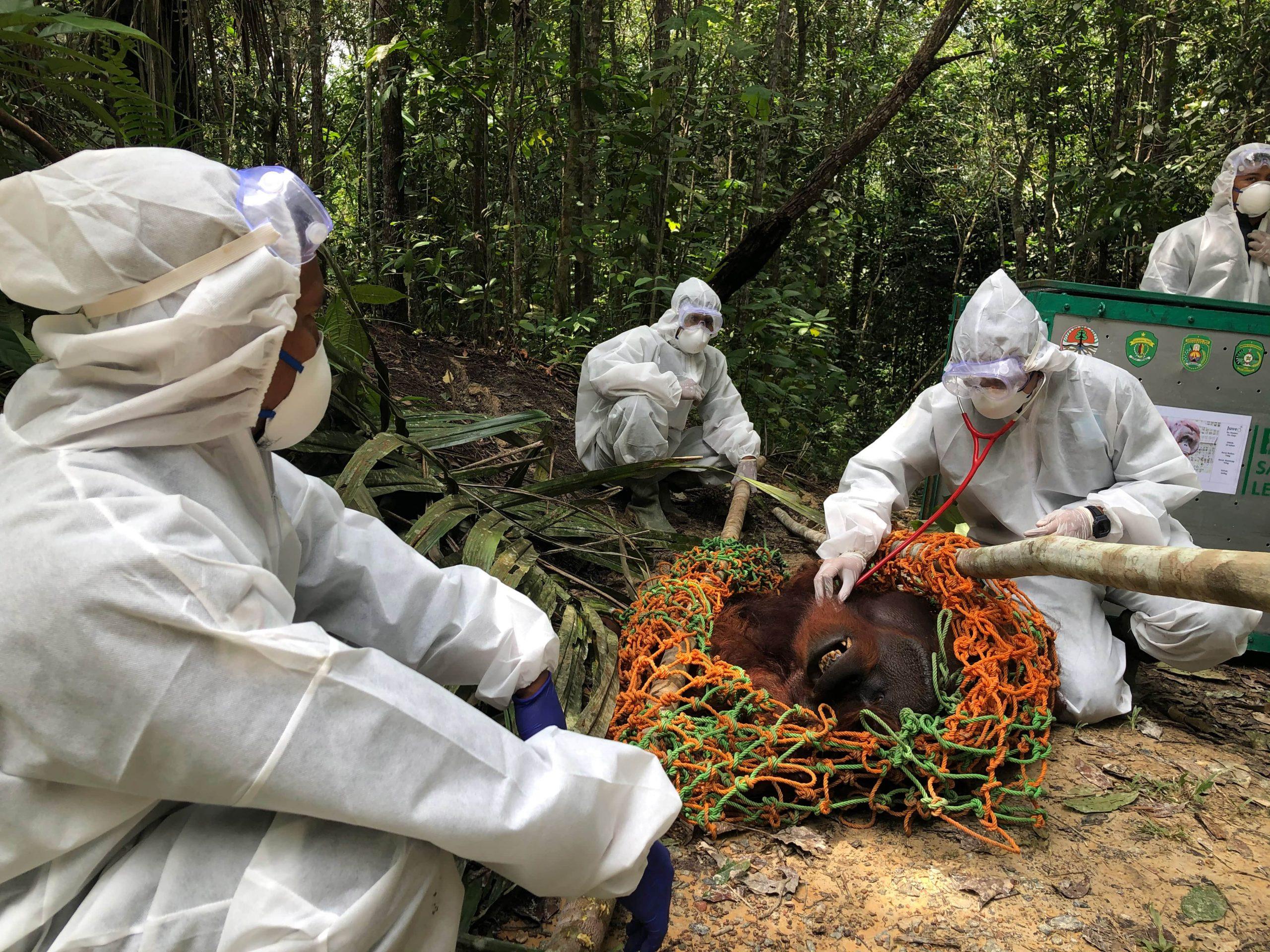 Orang-Utan kurz vor Freilassung, in Netz, vier Männer in Schutzanzügen wegen CODID-19