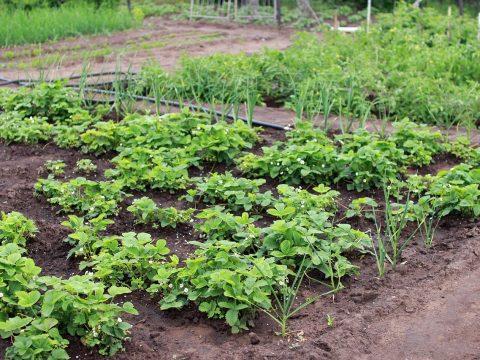 Garten mit blühenden Erdbeeren, Zwiebeln und blühenden Kartoffelstauden