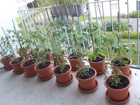 Tomatenstauden in Töpfen auf einem Balkon