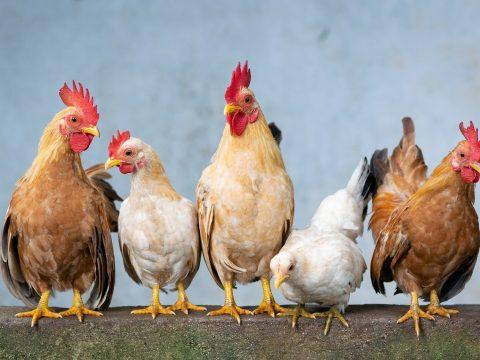Hühner und Hähne Seite an Seite