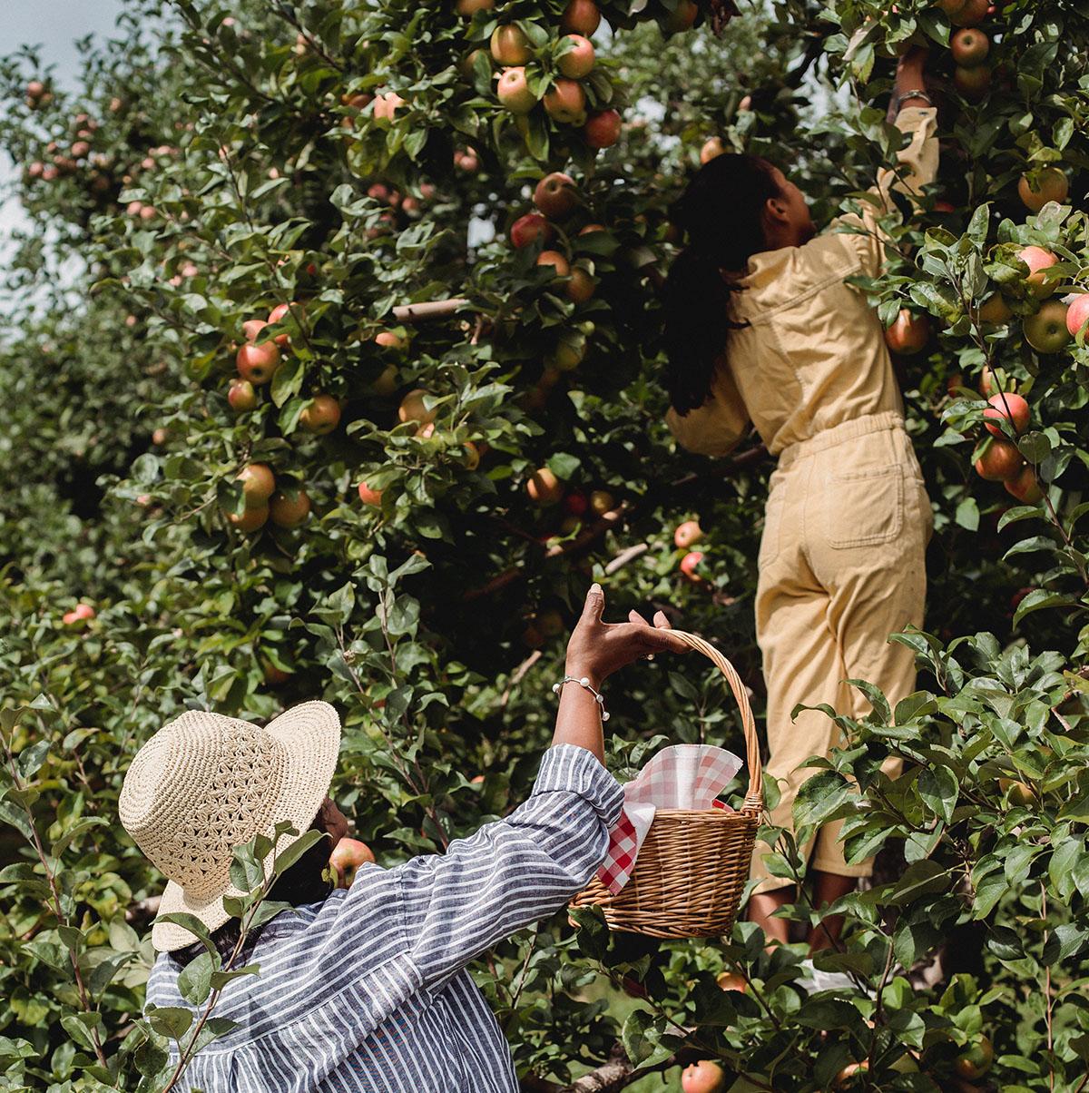 2 Frauen beim Äpfelpflücken
