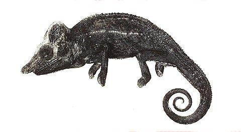 Skizze eines Voeltzkow-Chamäleons