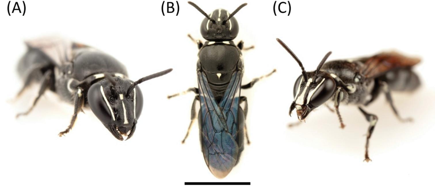 drei Aufnahmen der australischen Bienenart Pharohylaeus lactiferus, nicht massstabgetreu