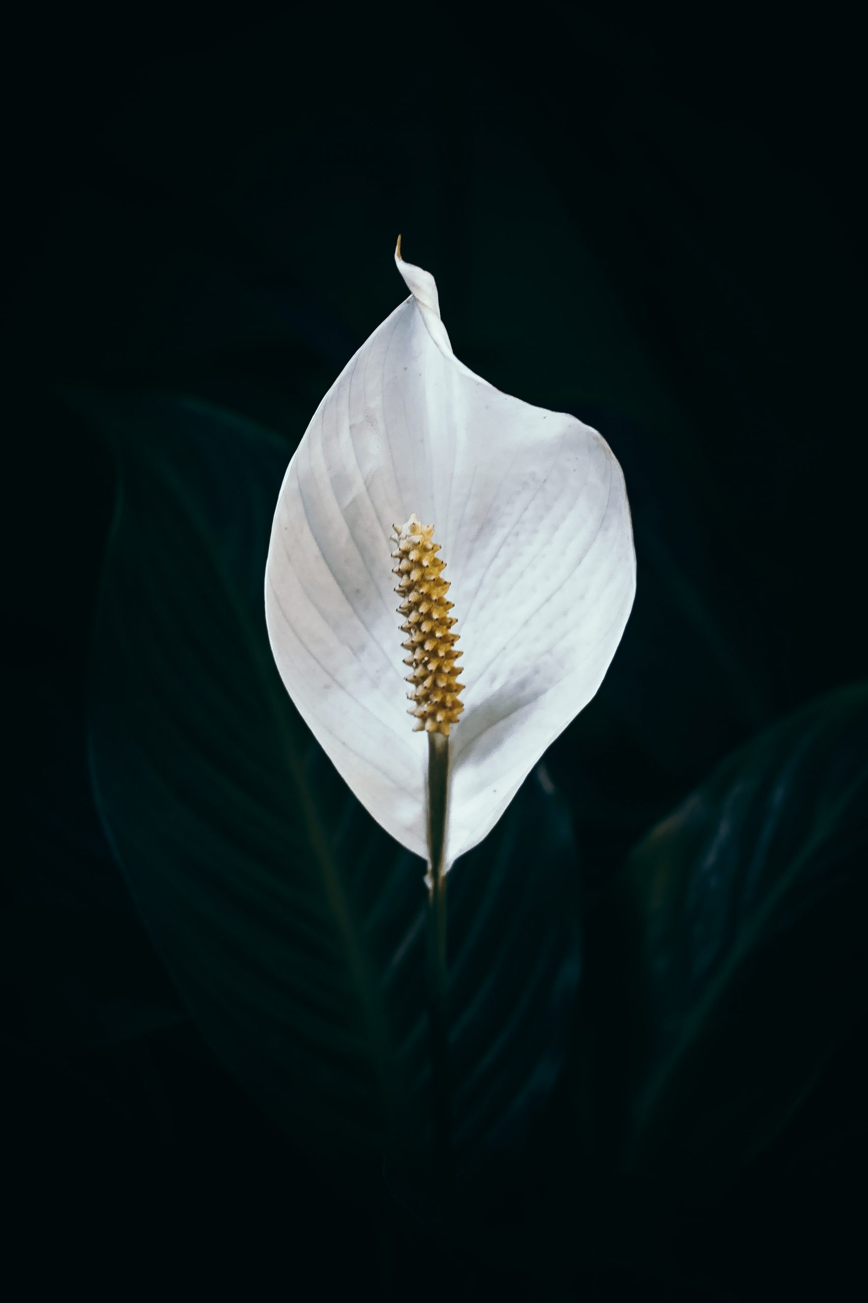 Spatophyllum
