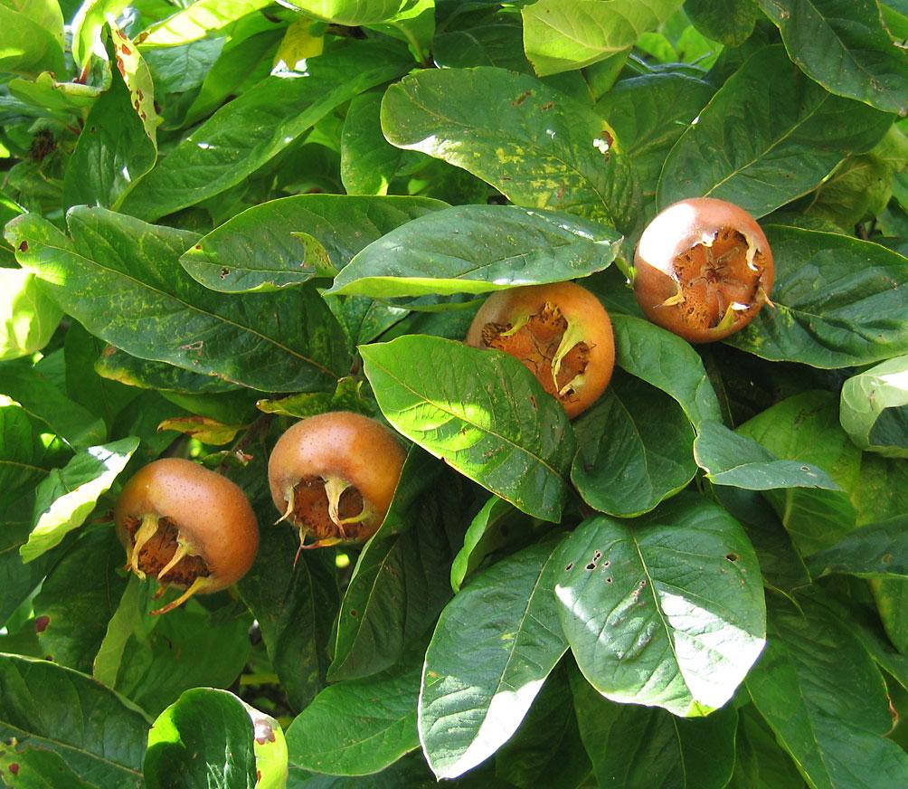 Mispelzweig mit Früchten