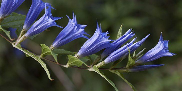 Blüten des Schwalbenwurzenzians