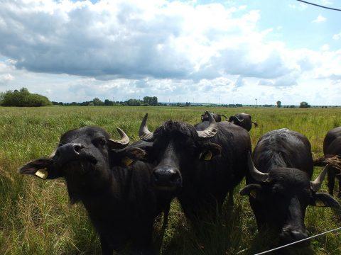 Drei neugierige Wasserbüffel schauen sich den Betrachtenden an in einem Feld