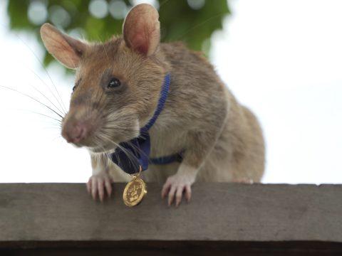 Helden-Landminen-Spürratte Magawa mit Goldmedaille der britischen Organisation PDSA.