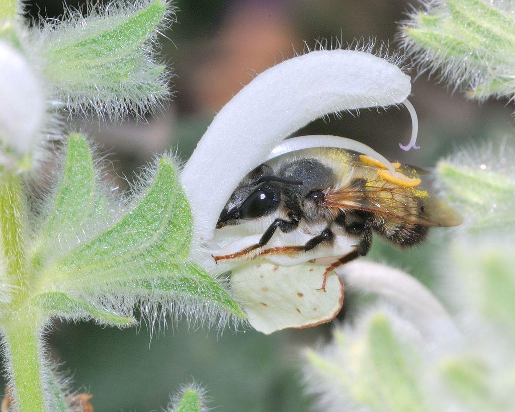 Schwarze Mörtelbiene saugt Pollen aus weisser Blüte