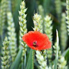 Unreife Ähren mit roter Mohnblume im Vordergrund