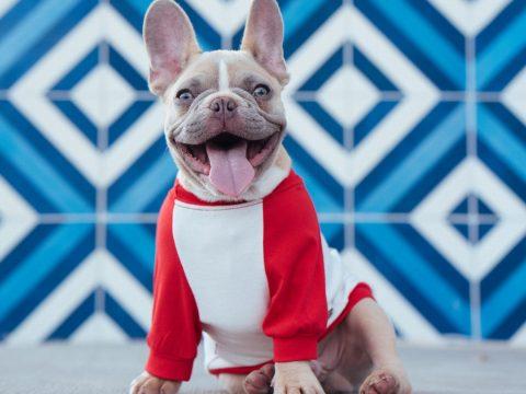 Bulldogge mit T-Shirt