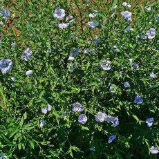 Blühende Flachspflanzen, auch Faserlein genannt