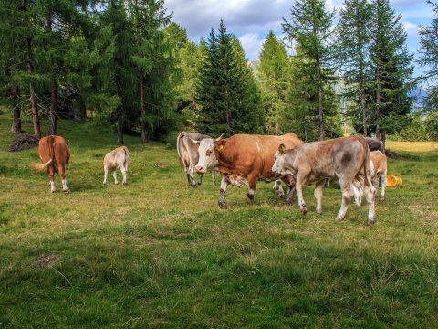 Kühe und Rinder auf einer Weide vor Tannen