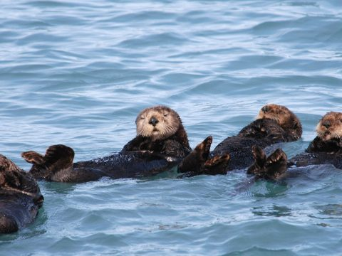 Seeotter in Monterey Bay.