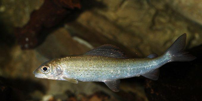 Äsche schwimmt von rechts nach links im Wasser, im Hintergrund grosse und kleine Steine