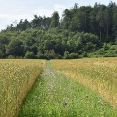 Blühstreifen zwischen zwei Kornfeldern, im Hintergrund Wald