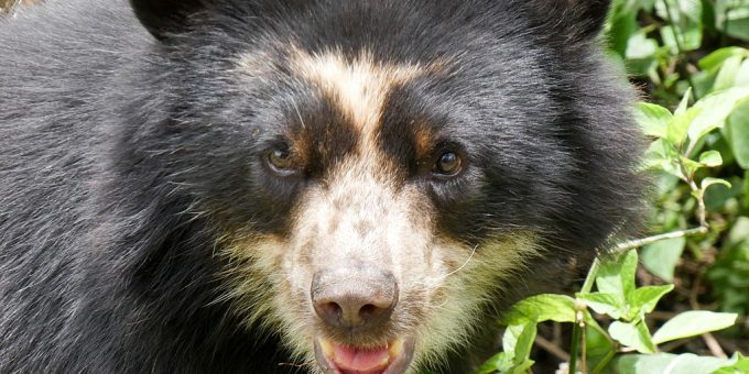 Nahaufnahme eines Gesichts eines Brillenbären