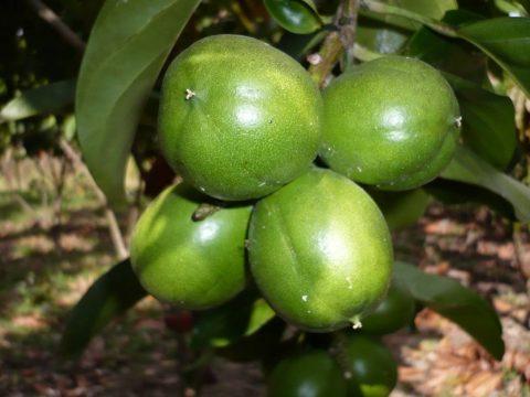 Cacay-Frucht