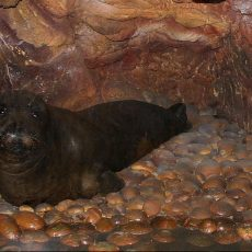 Mittelmeer-Mönchsrobbe in Bruthöhle