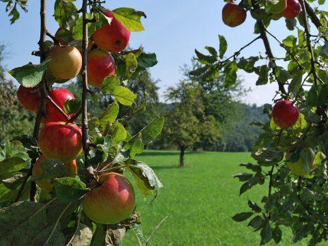 Apfelbäume auf Wiese, im Vordergrund Zweig mit reifen Äpfeln